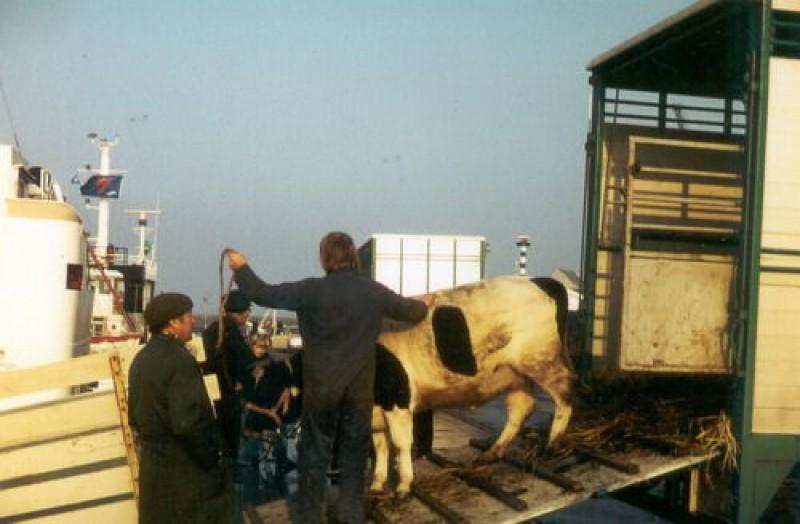 800-geschiedenis-koeien